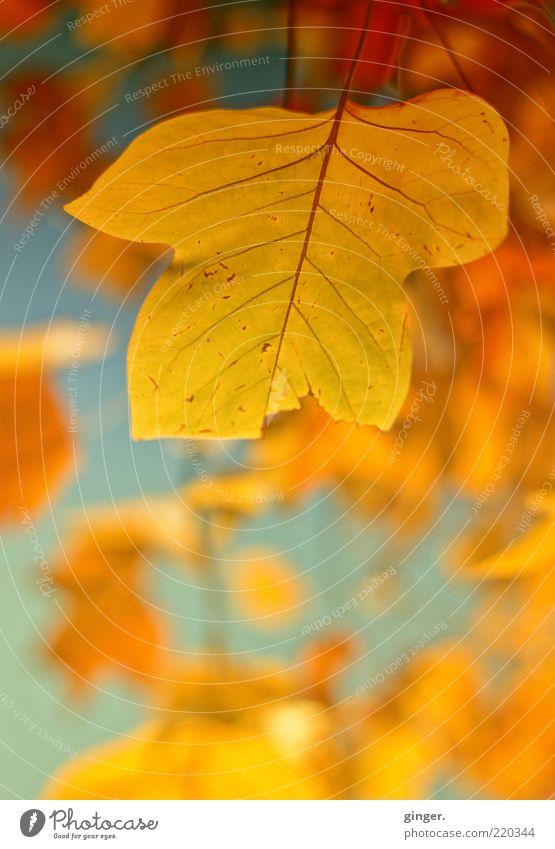 Goldener Herbst Natur Pflanze Blatt gelb Umwelt gold leuchten ästhetisch Schönes Wetter Jahreszeiten Stengel herbstlich Gefäße Herbstfärbung Blattadern