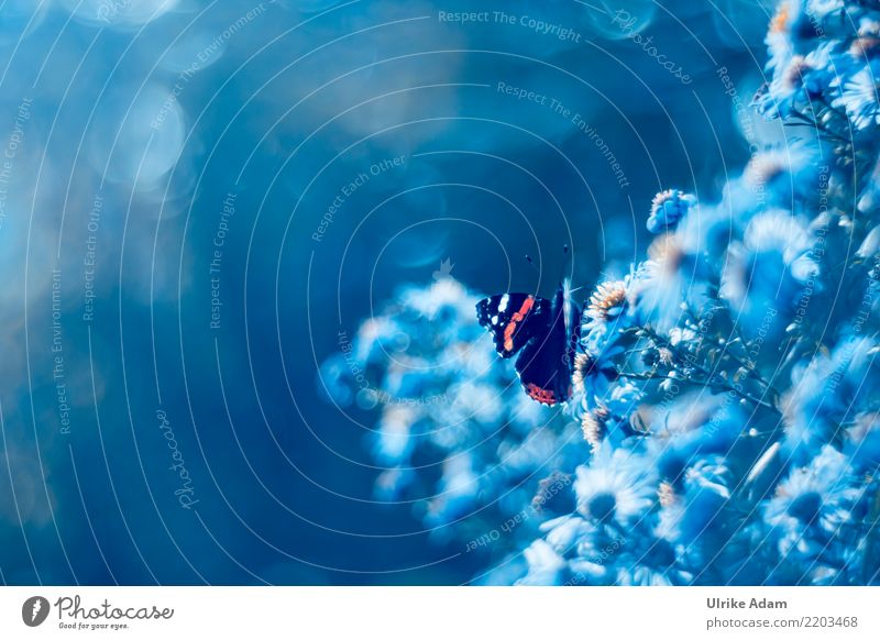 Schmetterling auf Herbst - Aster Natur blau Sommer Blume Tier ruhig Blüte Kunst außergewöhnlich Garten Park leuchten glänzend Wildtier Blühend