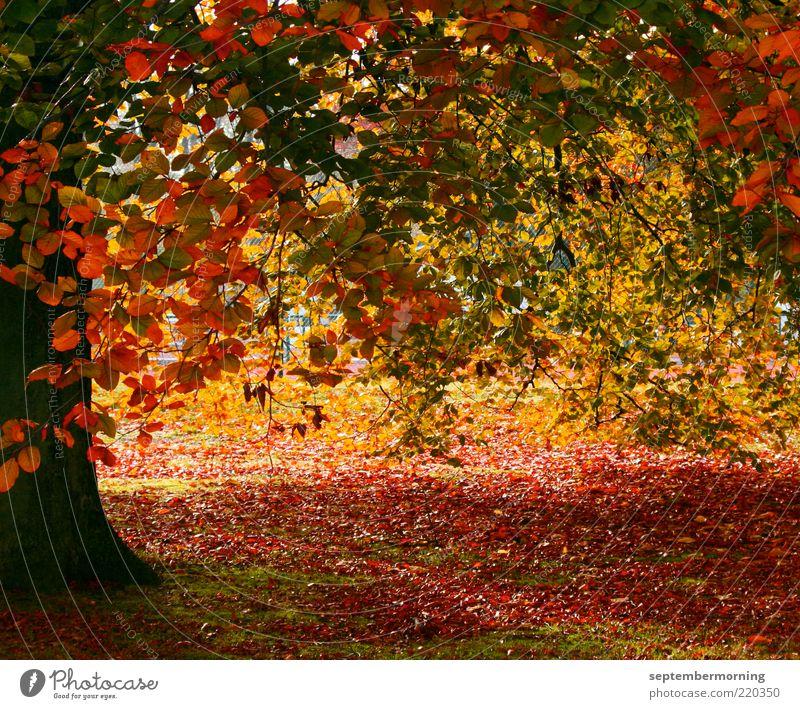 Herbstzauber Baum braun gelb grün rot Farbfoto Außenaufnahme Menschenleer Herbstlaub Herbstfärbung herbstlich Blatt Baumstamm Tag