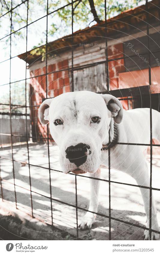 Dogo Argentino - Argentino Mastiff Sommer Tier Haustier Hund Tiergesicht 1 beobachten schön muskulös niedlich stark weiß Sicherheit Schutz loyal Kraft