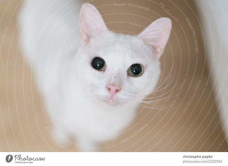 What up bro? Katze weiß Tier Wohnung niedlich beobachten Neugier Haustier Fell Wachsamkeit kuschlig Tierliebe