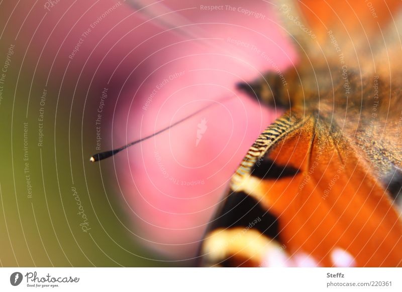 die Fühler ausstrecken Augenfalter Edelfalter natürlich Schmetterling warme Farben Spätsommer Warme Farbe Tagpfauenauge Flügel nah Sommergefühl orange rosa
