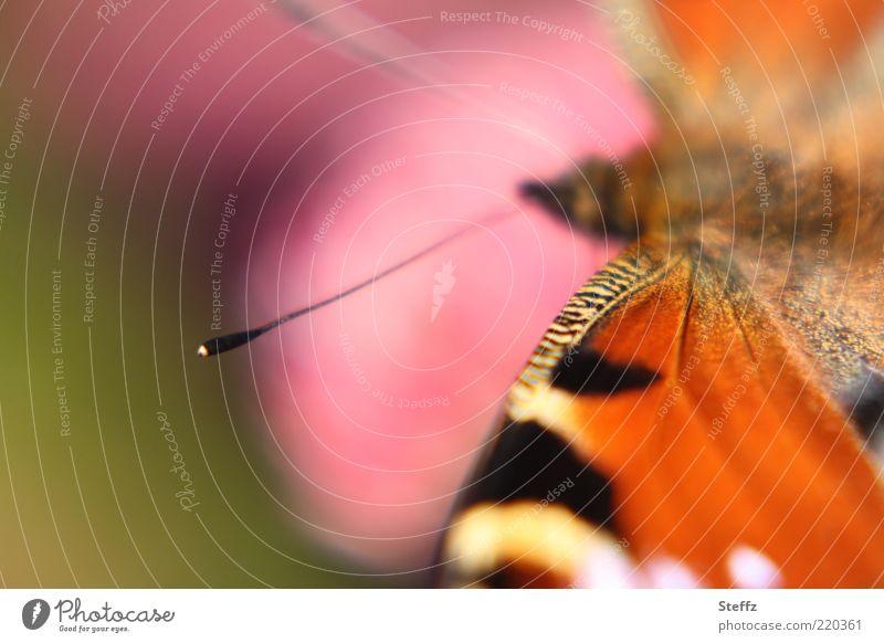die Fühler ausstrecken Umwelt Natur Sommer Schmetterling Flügel Tagpfauenauge Augenfalter Edelfalter nah natürlich schön mehrfarbig orange rosa Sommergefühl