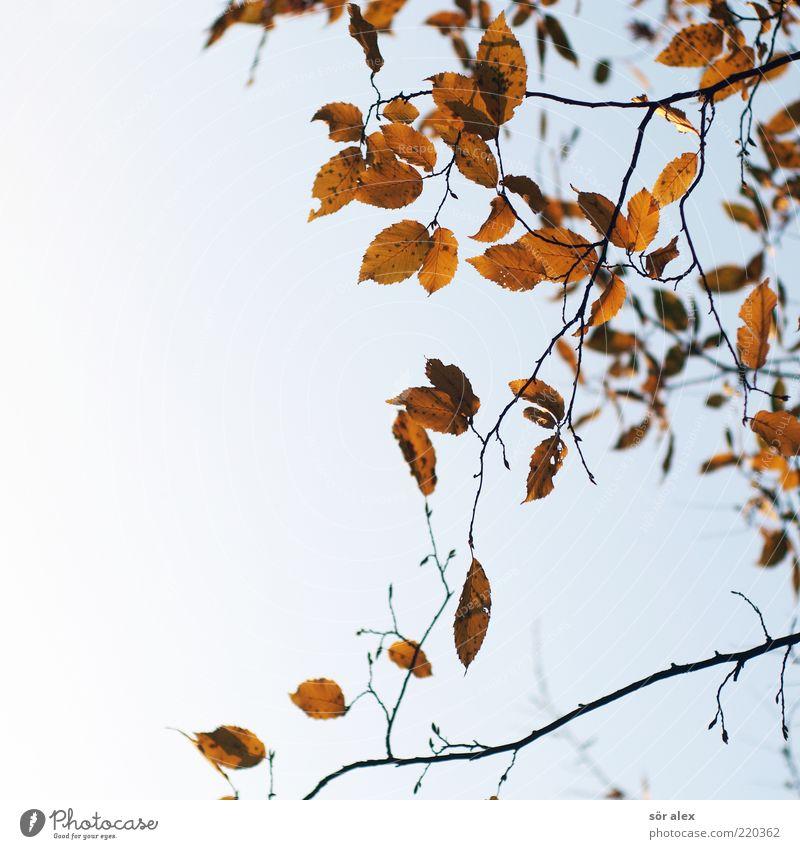 Blattverlust Natur Himmel Blatt Herbst Traurigkeit Trauer Wandel & Veränderung Vergänglichkeit Ast Jahreszeiten Zweig Geäst Herbstlaub Oktober filigran hängend
