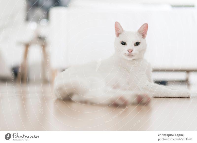 sphinx Katze weiß Tier Wohnung hell Häusliches Leben liegen beobachten Haustier Wachsamkeit Wohnzimmer Stolz Tierliebe