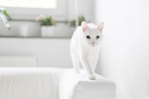 in balance Häusliches Leben Wohnung Sofa Tier Haustier Katze Tiergesicht Fell Pfote 1 Bewegung entdecken gehen Neugier niedlich weiß Tierliebe Farbfoto