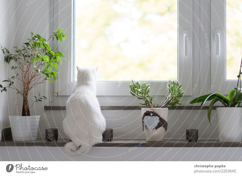 Katzenkino weiß Erholung Tier Häusliches Leben Wohnung Raum sitzen niedlich beobachten Haustier Wohnzimmer Fensterblick Fensterbrett