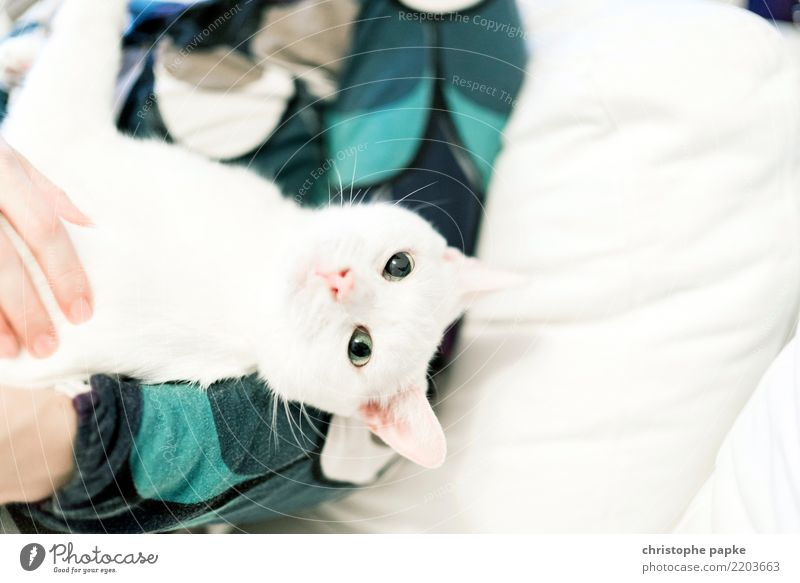 Couchcat Häusliches Leben Wohnung Tier Haustier Katze Tiergesicht 1 niedlich weiß Tierliebe Neugier Streicheln kuschlig Sofa Blick ruhig Farbfoto