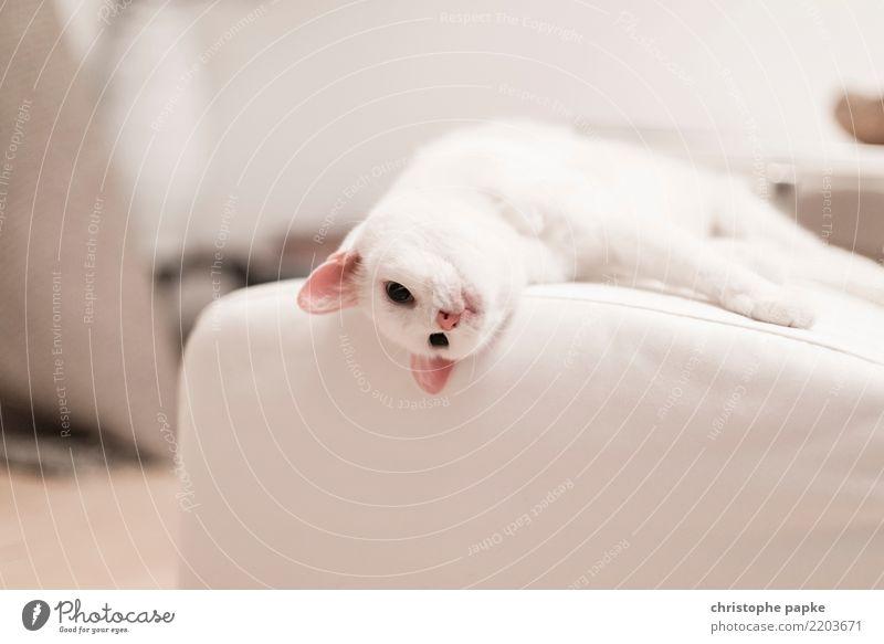 lazy sunday Katze weiß Erholung Tier ruhig Wohnung Häusliches Leben Zufriedenheit niedlich schlafen Wohlgefühl Haustier Fell Tiergesicht Pfote Tierliebe