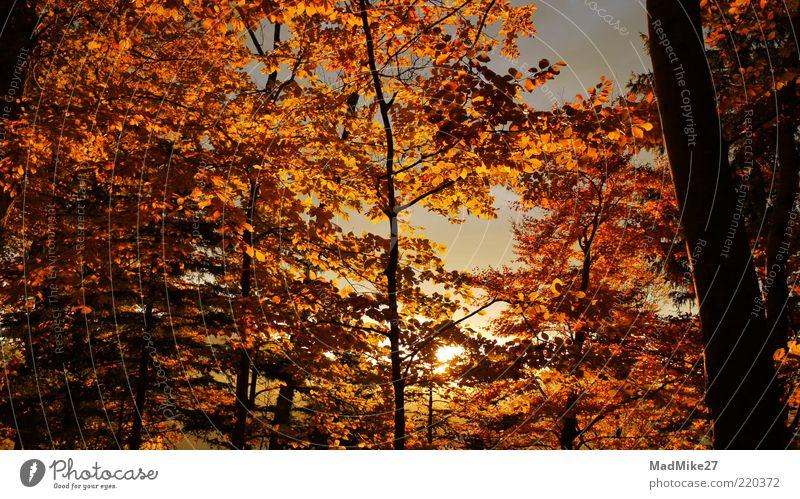 Herbstbrennen Baum Blatt Wildpflanze Wald Herbstfärbung Herbstwald leuchtende Farben orange Birke Sonnenuntergang gelb goldgelb Morgendämmerung Herbstlaub