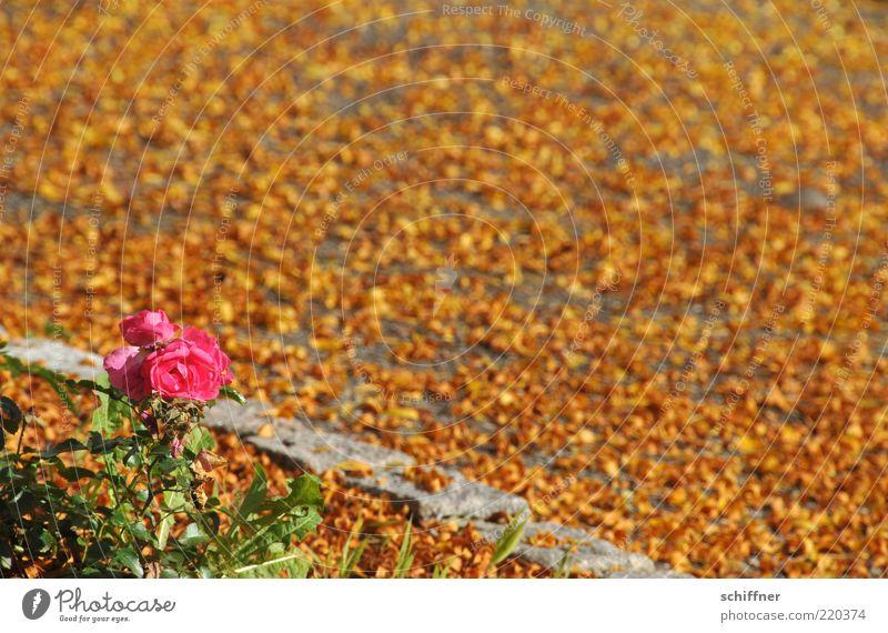 Mädchen im Herbst Pflanze Sonnenlicht Schönes Wetter Rose Grünpflanze leuchten schön gelb rosa Herbstlaub herbstlich Herbstfärbung Blatt Boden viele bedeckt