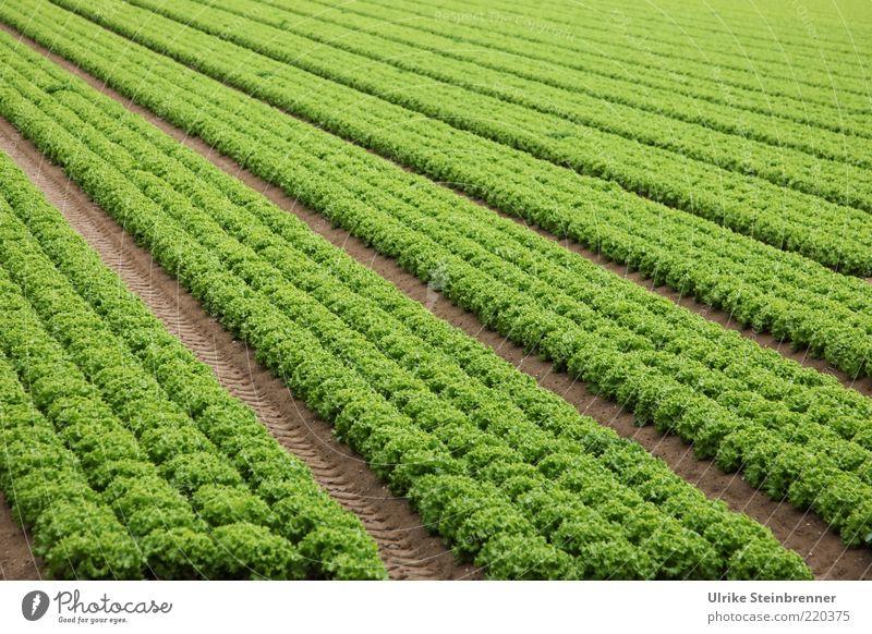 Grünzeuch grün Linie Feld Frucht mehrere Italien Landwirtschaft Reihe Ackerbau Geometrie Gemüse Salat parallel Aussaat Grünpflanze Vegetarische Ernährung