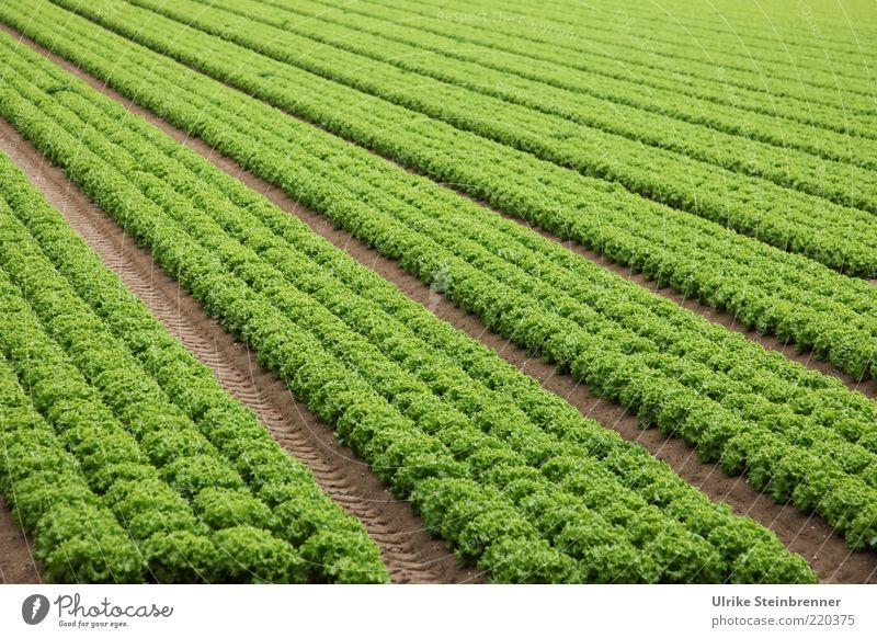 Grünzeuch Lollo bianco Salat grün kraus Grünpflanze Vegetarische Ernährung Ackerbau Aussaat Landwirtschaft Reihe Feld Linie 4 mehrere Fluchtpunkt Geometrie