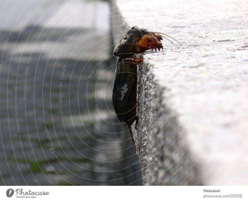 Maulwurfsgrille Insekt Dieb Mangel Landraubtier selten