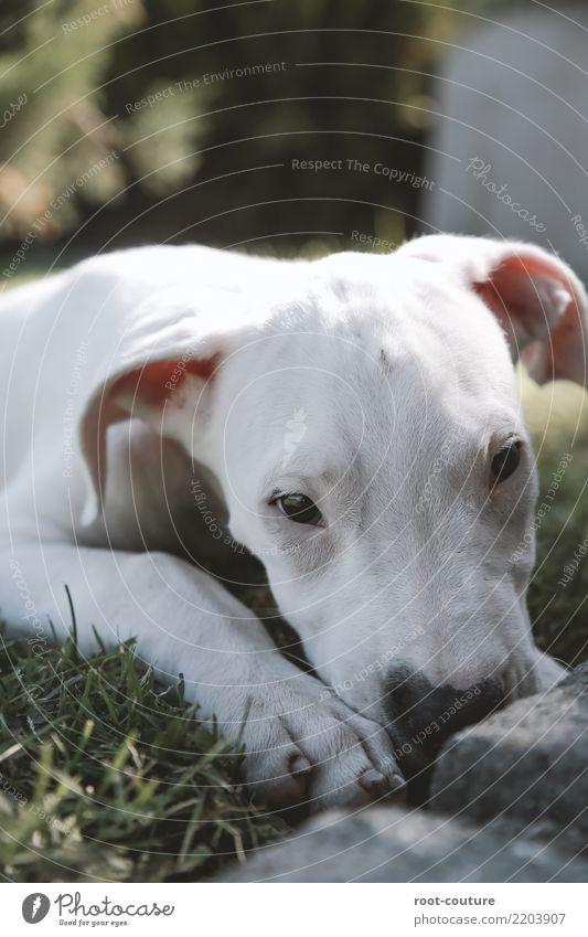 Dogo Argentino - Argentino Mastiff Welpe Tier Haustier Hund Pfote 1 Tierjunges liegen Blick weiß Tierliebe ruhig Erholung Tierporträt Haushund schön niedlich