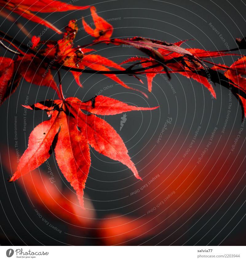 Jahreszeiten | feuriger Herbst Natur Pflanze Baum Sträucher Blatt Ahorn Herbstfärbung Zweig Herbstlaub Park rot schwarz Farbe Kontrast leuchtende Farben