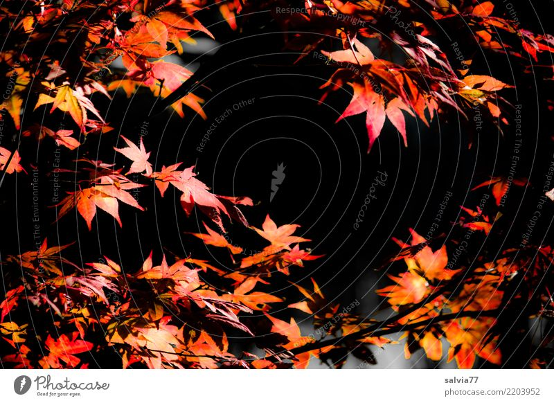 herbstlich eingerahmt Natur Pflanze Baum rot Blatt Wald schwarz Herbst orange leuchten Park Sträucher Ahornblatt Herbstfärbung Ahornzweig