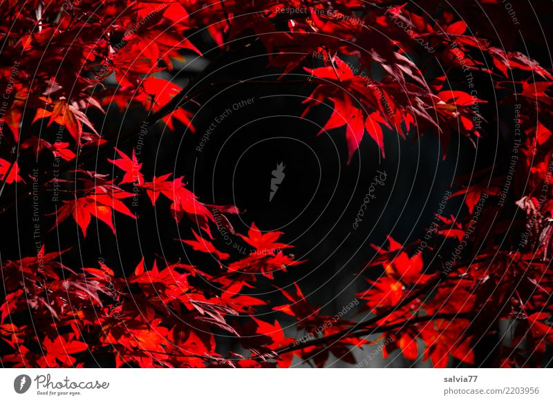 leuchtende Blätter Natur Herbst Pflanze Sträucher Blatt Ahornzweig Blätterdach Ahornblatt Garten Park rot schwarz Design Farbe Wandel & Veränderung Zeit