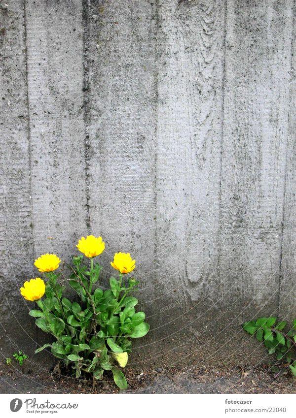 Mauerblume grün gelb Beton Löwenzahn Nische