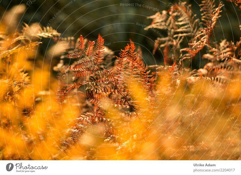 Herbstfarben Wellness harmonisch Wohlgefühl Zufriedenheit Erholung ruhig Natur Pflanze Farn Blatt Feld Wald Moor Sumpf glänzend leuchten verblüht dehydrieren