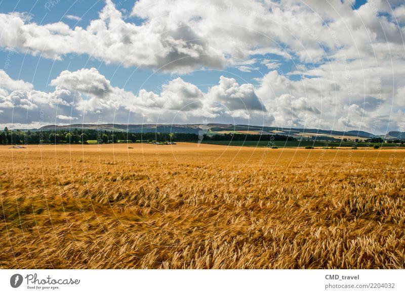 Getreide Feld in Schottland Umwelt Natur Landschaft Pflanze Urelemente Luft Sommer Herbst Schönes Wetter Nutzpflanze blau gelb Umweltverschmutzung Umweltschutz