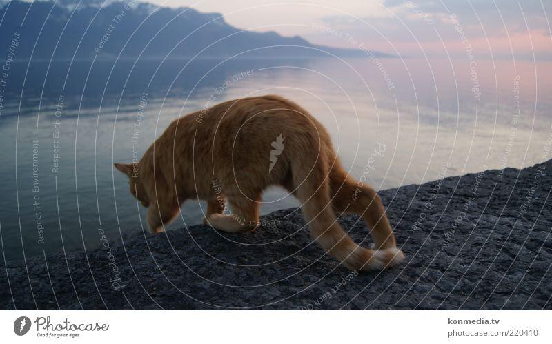 Tiger steigt ins Wasser Natur blau rot Tier Katze Landschaft ästhetisch Coolness beobachten Schwimmen & Baden Neugier entdecken Seeufer Schönes Wetter Haustier
