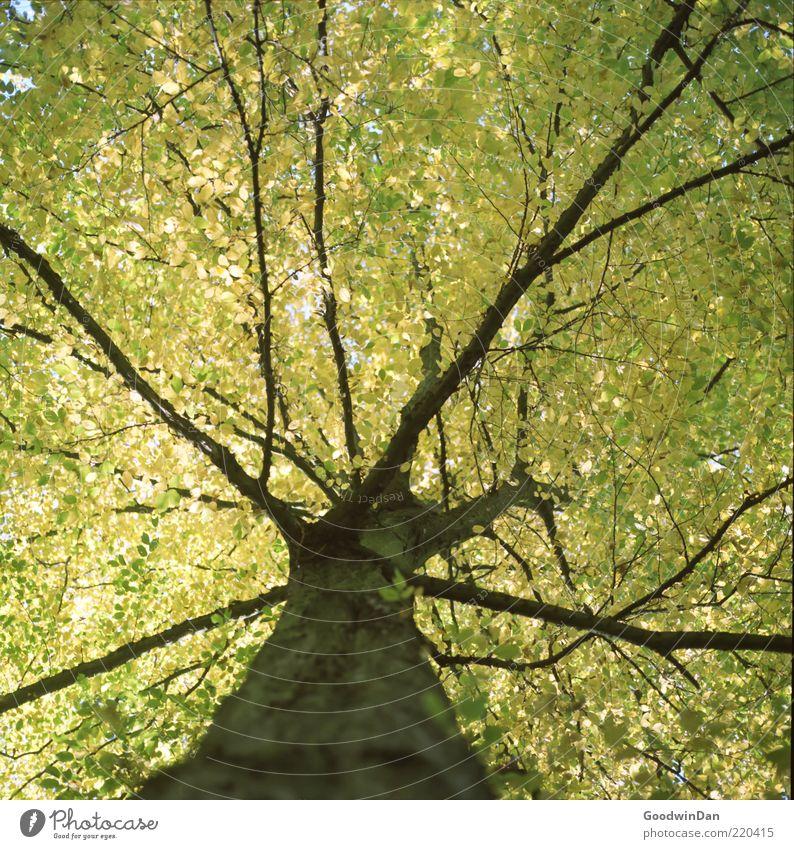 Das Ergebnis Natur alt Baum Pflanze Blatt Herbst Gefühle Stimmung Umwelt Ast Baumstamm Baumkrone Geäst Herbstlaub Laubbaum Herbstfärbung