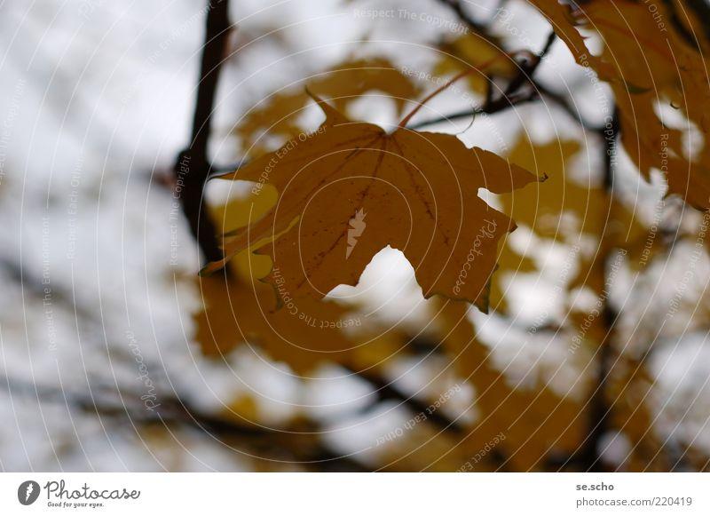 Blatt_2010 Natur schön Pflanze ruhig gelb Herbst Stimmung braun gold einfach natürlich Herbstlaub welk Herbstfärbung Ahornblatt