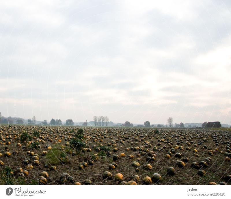 come together. Gemüse Bioprodukte Erde Horizont Herbst Pflanze Feld dick rund gelb gold grün Kürbis Kürbiszeit Kürbisfeld Textfreiraum oben Morgen Ferne