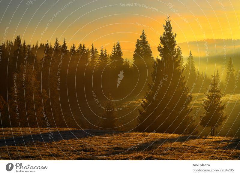 schöner Sonnenaufgang im Wald Tourismus Umwelt Natur Landschaft Herbst Nebel Baum hell natürlich Farbe Sonnenuntergang Licht Fichte Jahreszeiten Kiefer Aussicht