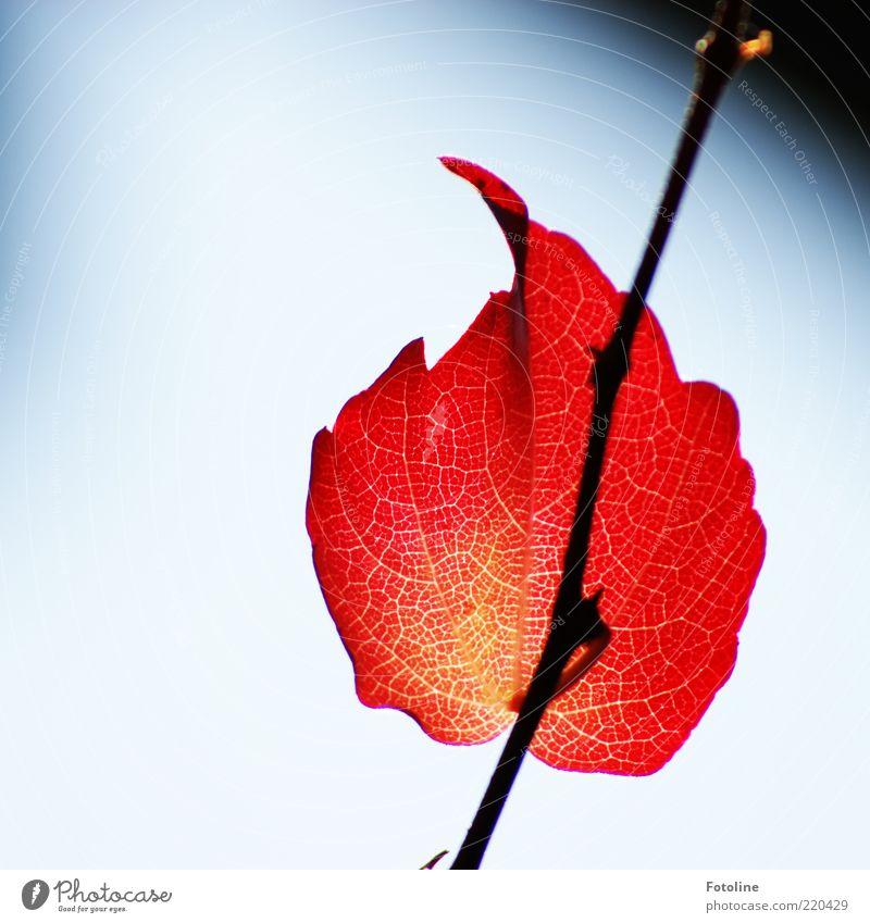 Leuchtfeuer Umwelt Natur Pflanze Urelemente Luft Himmel Wolkenloser Himmel Herbst Blatt Wildpflanze hell natürlich rot feurig Blattadern Ranke Wilder Wein
