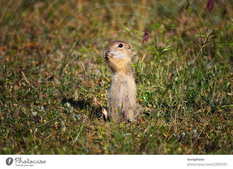 Süßes Ziesel im natürlichen Lebensraum Essen schön Sommer Umwelt Natur Tier Gras Wiese Pelzmantel füttern stehen klein lustig niedlich wild braun rot