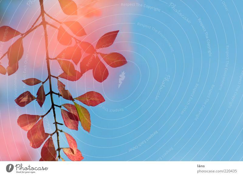 rotgeflammt Umwelt Natur Pflanze Himmel Wolkenloser Himmel Herbst Sträucher ästhetisch blau rosa Vergänglichkeit Wandel & Veränderung Blatt Zweig Ast