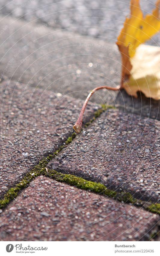 Herbst am Stiel Natur alt rot Blatt gelb Herbst Wege & Pfade gold Zeit fallen Bürgersteig Jahreszeiten Fußweg Moos Pflastersteine vertrocknet