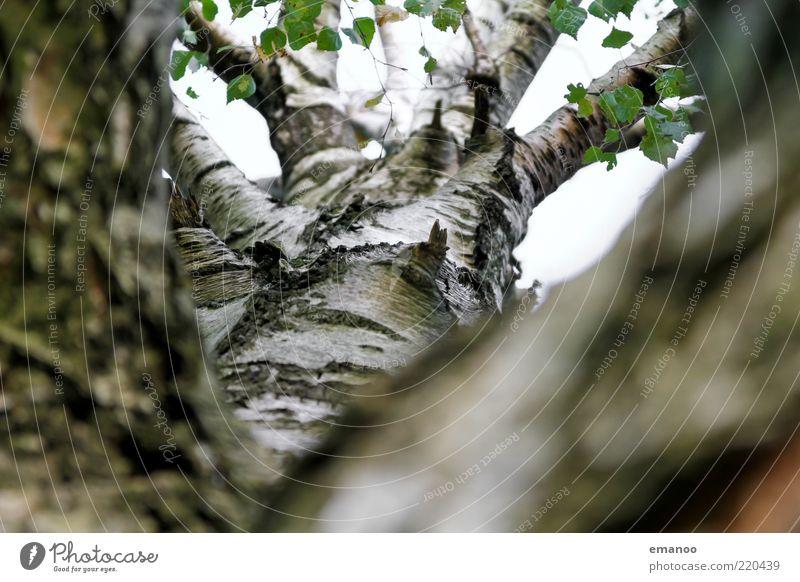birch tree Umwelt Natur Pflanze Frühling Sommer Herbst Baum Blatt Wachstum weiß Leben Birke Birkenrinde Baumrinde Ast Baumstamm Oberfläche Glätte Himmel rund