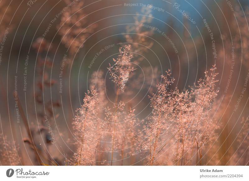 Gräser im Abendlicht Wellness harmonisch Wohlgefühl Zufriedenheit Erholung ruhig Meditation Natur Pflanze Sommer Herbst Gras Grassamen Wiese Feld Moor Sumpf