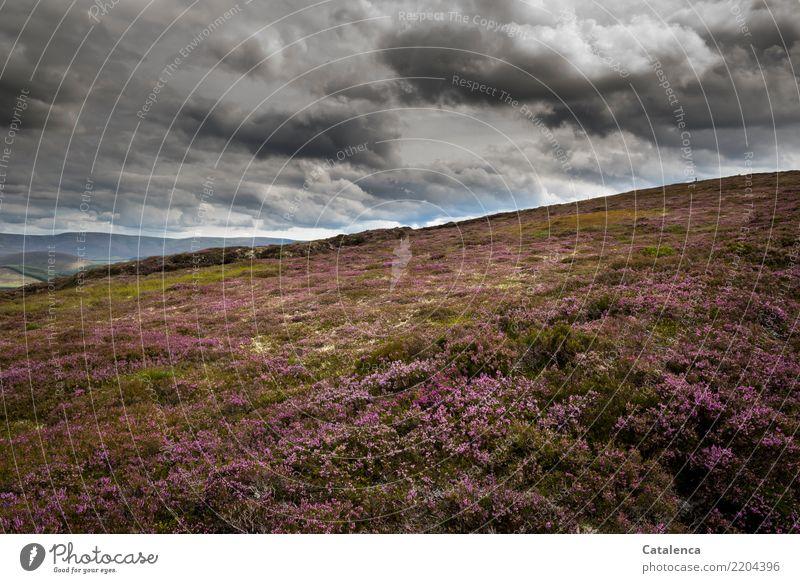 Pflanzenteppich Natur Sommer grün Landschaft Wolken Berge u. Gebirge Umwelt grau braun rosa wandern Wachstum Sträucher Blühend beobachten