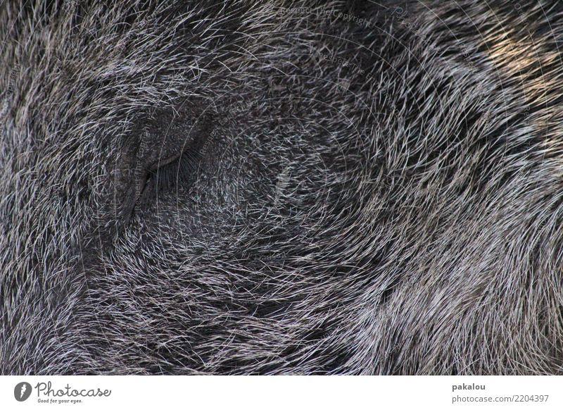 Torsten das Borstentier Tier Wildschwein eber bach Keiler 1 schlafen warten grau Stimmung zerklüftet Jäger Beute Tod Treibjagd Ruhe frieden Wald Waldtier