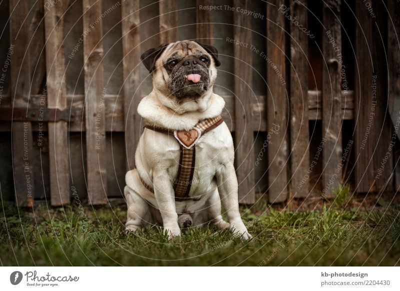 Portrait of a Pug dog outdoors Tier Haustier Hund 1 sitzen pugs Fur Paw paws Dog Hound Hunt Domestic animal Animal Mammal sweet brown Creature Autumn autumnal