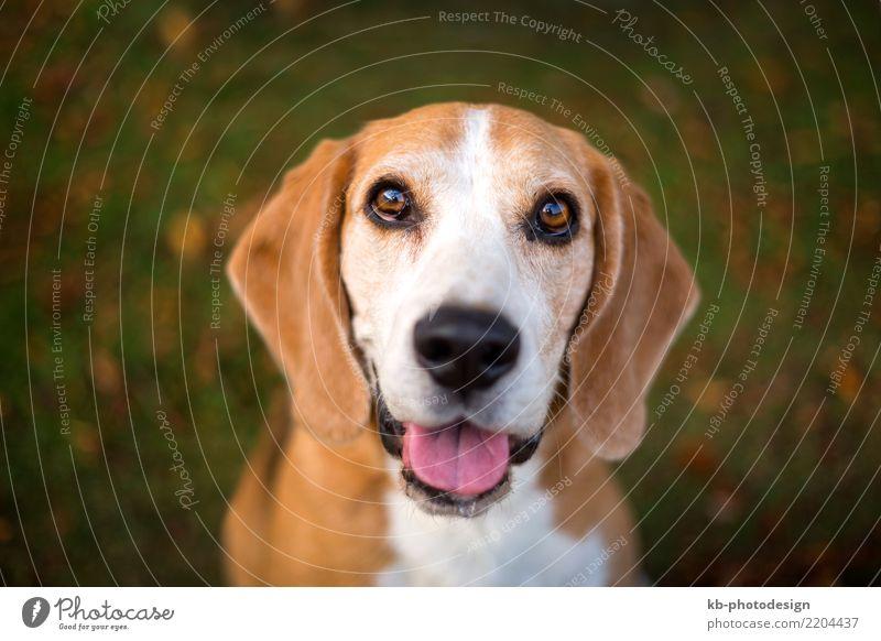 Portrait of a Beagle dog Tier Haustier Hund Tiergesicht 1 sitzen portrait hound hound dog hunting dog domestic animal mammal sweet brown creature autumn