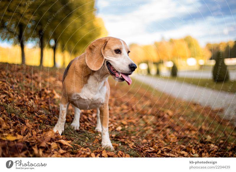 Portrait of a Beagle dog in autumnal landscape Tier Haustier Hund Tiergesicht 1 Spielen portrait hound hound dog hunting dog domestic animal mammal brown