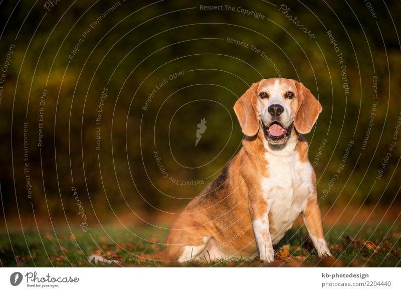 Portrait of a Beagle dog in autumnal landscape Tier Haustier Hund Tiergesicht 1 sitzen portrait hound hound dog hunting dog domestic animal mammal brown