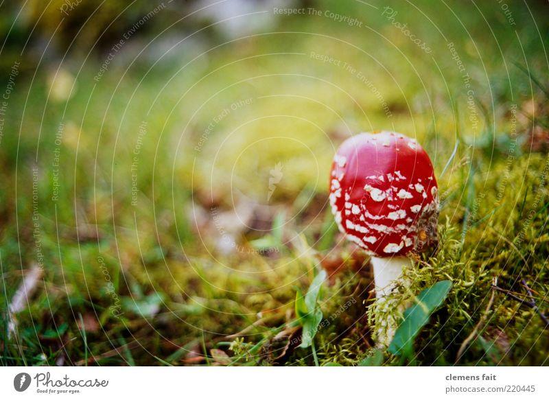Fliegenpliz grün Pflanze rot Gras Pilz Halm Moos gepunktet Waldboden Fliegenpilz