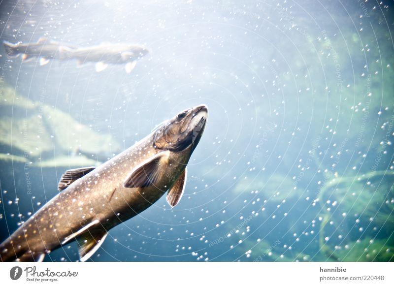 Fisch.erleuchtet Tier Wasser Schuppen Zoo Aquarium 3 kalt nass blau braun Luftblase Flosse Süßwasser stumm Fischmaul Farbfoto Außenaufnahme Unterwasseraufnahme