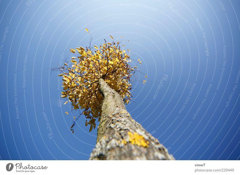 EinBaum Umwelt Natur Himmel Wolkenloser Himmel Sonnenlicht Pflanze ästhetisch authentisch dünn einfach frisch hoch klein lang oben blau gold Neugier Perspektive