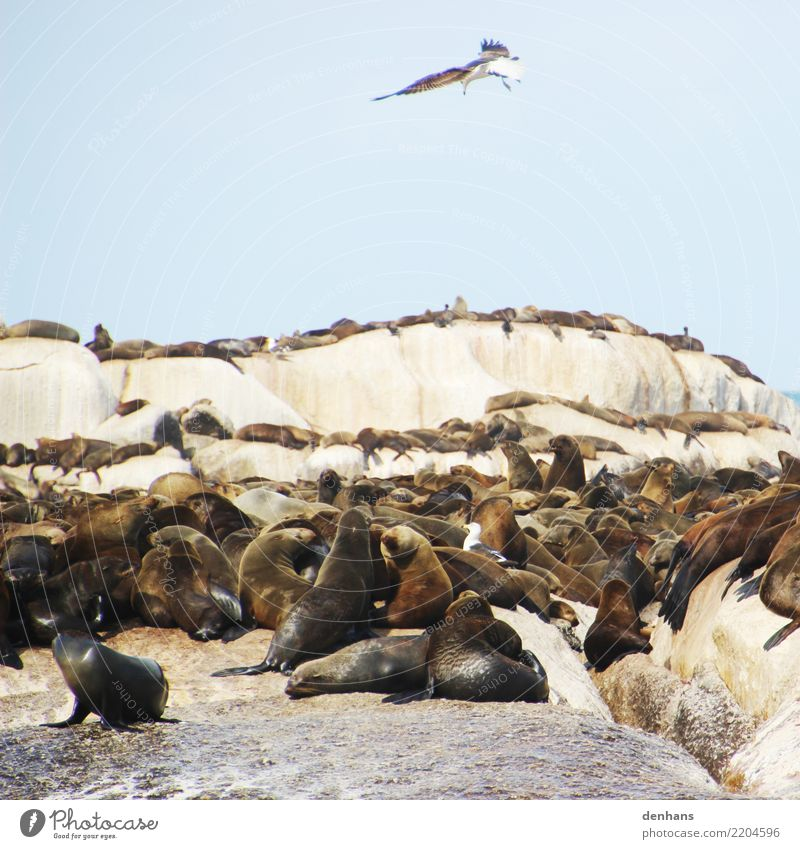 Pelzrobben auf Duiker Island, Südafrika Tier Himmel Küste Meer Atlantik Insel Hout Bay Afrika Wildtier Vogel Robben Robbenkolonie Ohrenrobben Möwe Möwenvögel