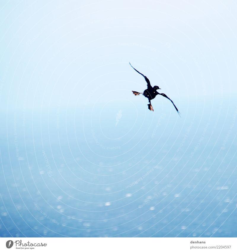Kapscharbe elegant Freude Ferne Meer Tier Vogel Phalacrocorax capensis Kormoran 1 rennen Bewegung fliegen genießen ästhetisch lustig maritim blau Mut Einsamkeit