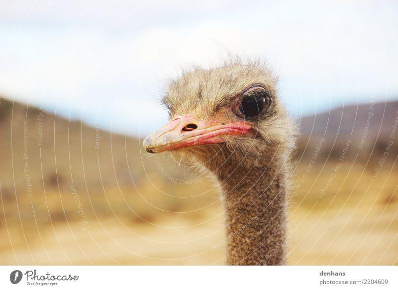 Straußenkopf Abenteuer Safari Natur Afrika Tiergesicht 1 beobachten frech Neugier Ferien & Urlaub & Reisen Stolz Farbfoto Außenaufnahme Textfreiraum oben Tag
