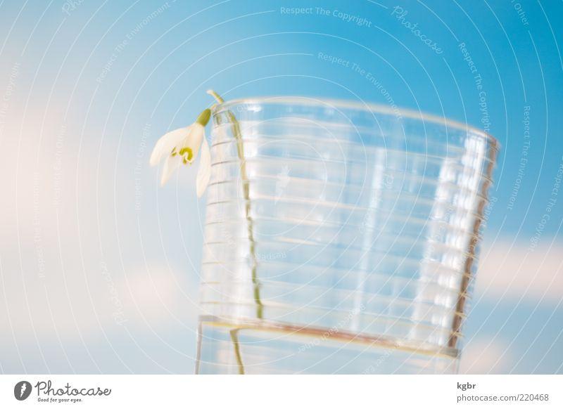 Frühling im Glas blau Wasser Pflanze Einsamkeit Blüte Traurigkeit hell Glas Glas Vergänglichkeit einzeln himmelblau Schneeglöckchen Wasserglas Vor hellem Hintergrund