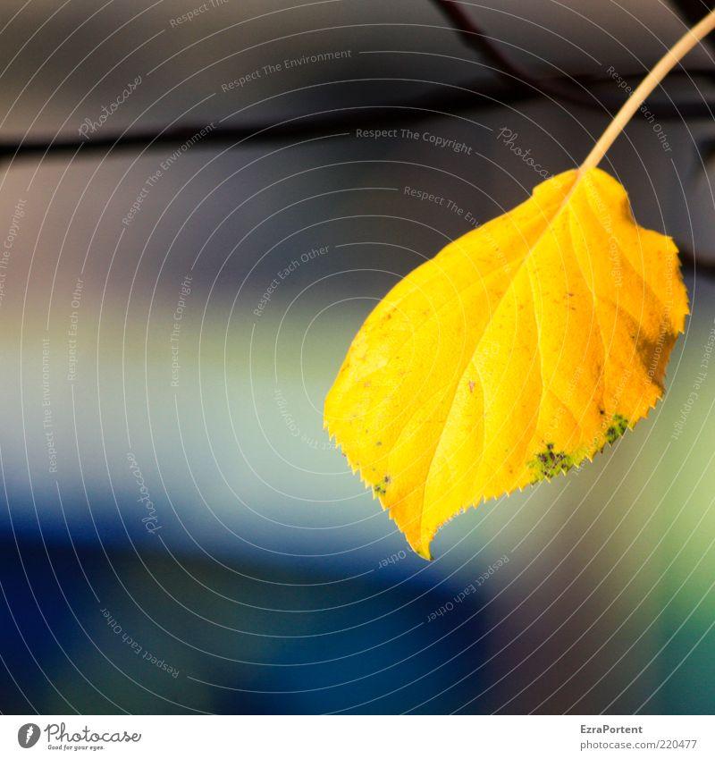 alone in the sun Umwelt Natur Pflanze Sonnenlicht Herbst Blatt leuchten authentisch natürlich schön gelb gold friedlich ruhig 1 einzeln goldgelb Herbstfärbung